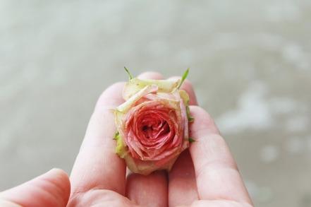 rose-1644818_640